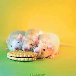 The Three Stooges - Fancy rats