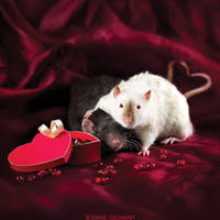 Ratties' Valentine's Day by DianePhotos