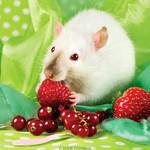 Louis, Fancy Rat by DianePhotos