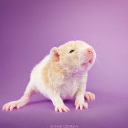 Ceresia - Fancy Rat by DianePhotos