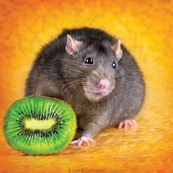 Onyx - Fancy Rat by DianePhotos
