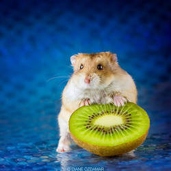 That's my kiwi!!! - Campbell hamster