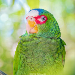 Portrait of a wild White Fronted Amazon parrot