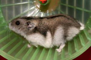 Hamster by sympat