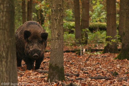 Black Boar by Illahie