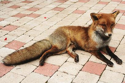 Taxidermy - Fox by Illahie