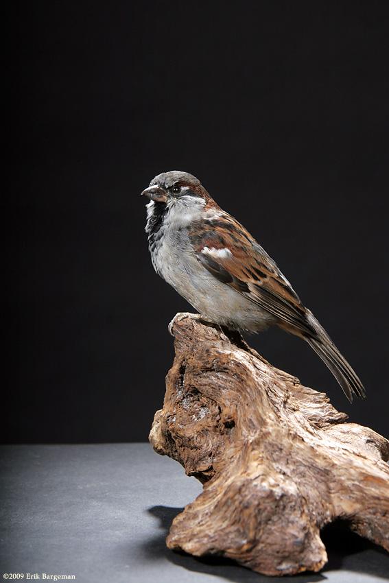 Taxidermy - Sparrow by Illahie