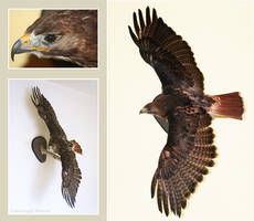 Taxidermy - Red Tailed Hawk by Illahie