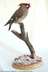 Taxidermy - Waxwing by Illahie