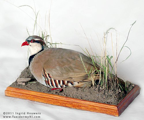 Taxidermy - Red legged partridge by Illahie