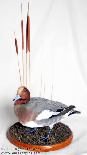 Taxidermy - Wigeon by Illahie
