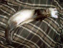 Celtic ferret -Sleeping Duncan by Illahie
