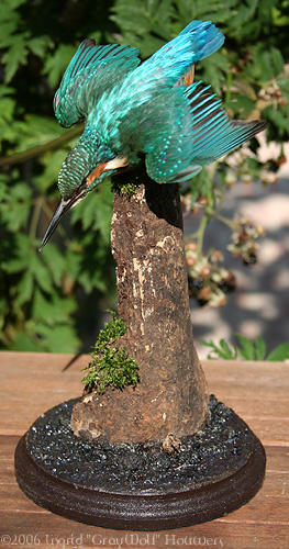 Taxidermy - Kingfisher diving by Illahie