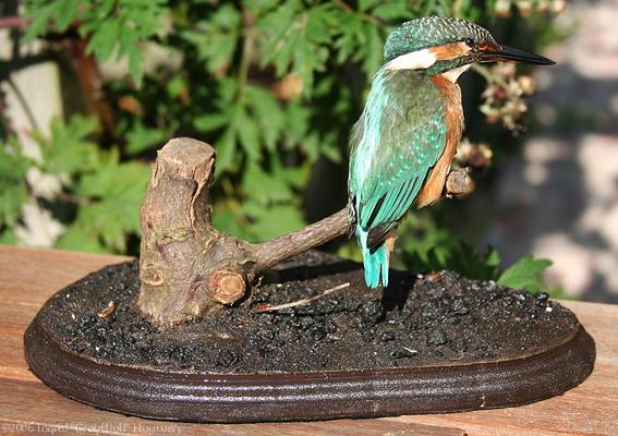 Taxidermy - Kingfisher sitting by Illahie