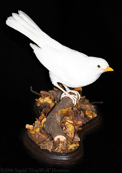 Taxidermy - White Blackbird by Illahie