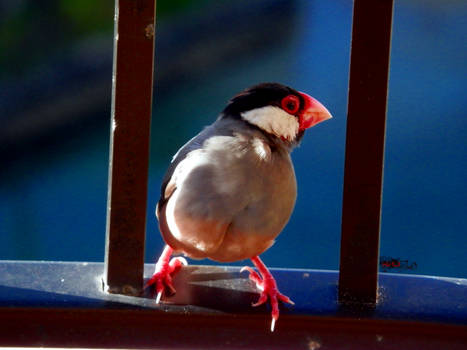 Hawaiian Java Sparrow by X-Ray-Dog