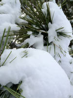 Snow Covered Pine Tree by redrum201