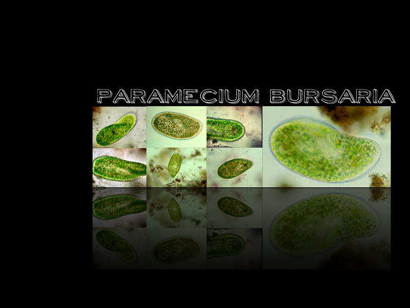 Paramecium Bursaria by noisemonkey