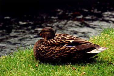 Brown Duck by The River by astayoga