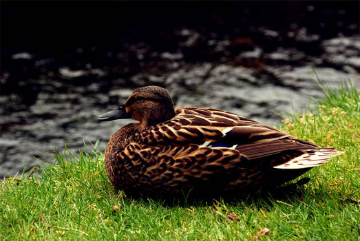 Brown Duck by The River