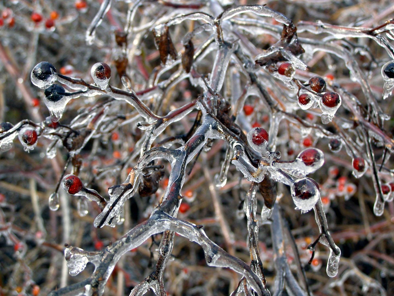 Frozen berries by Gaming-Dork