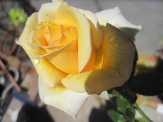 Donde esta mi rosa by fercita