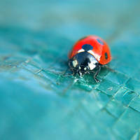 Just a Ladybird by o-kaykay