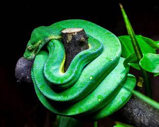 Snake I by saeppo