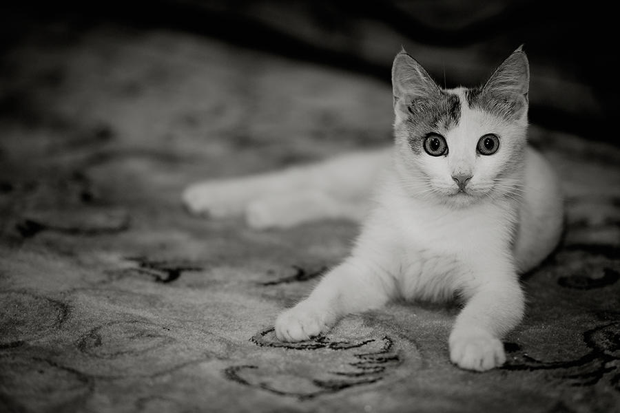 Cat,,,, by amai911