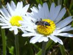 Daisy Beetle