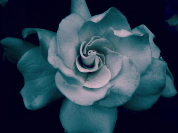 Little White Gardenia by BangPop