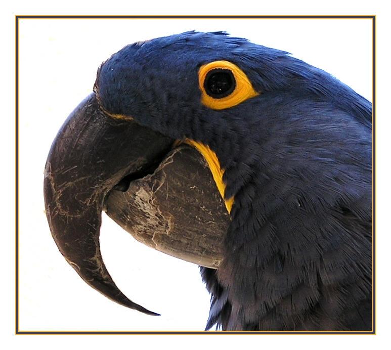 Parrot beak - photo#14