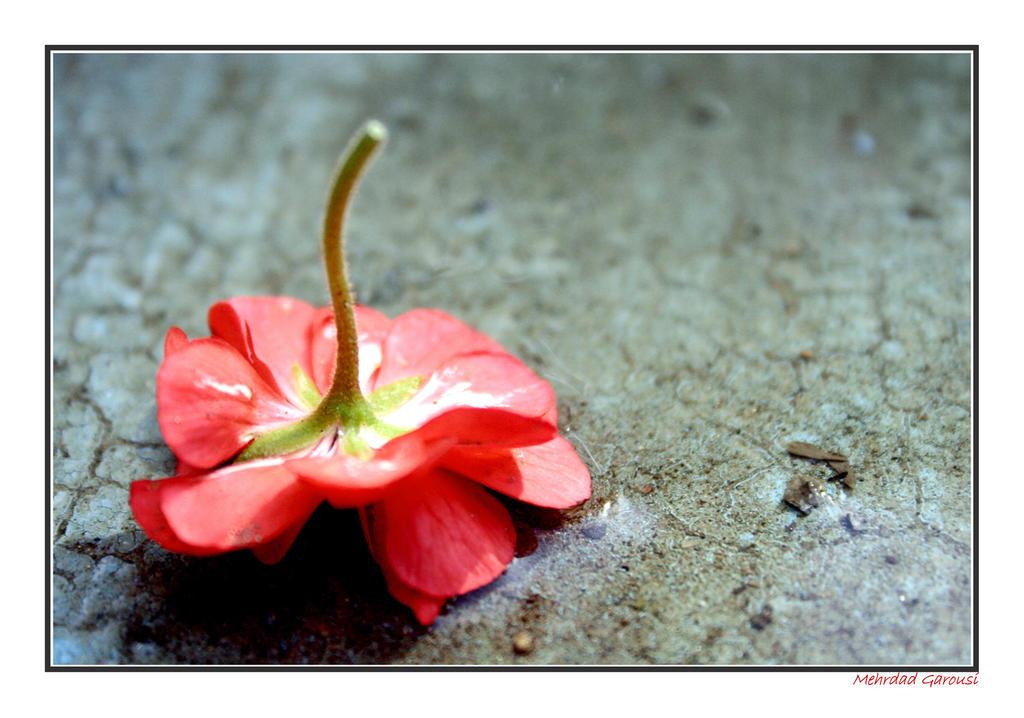 Dropped Flower by mehrdadart