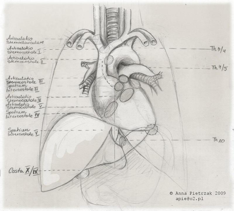 Anatomy doodles: thorax by OssaDigitorumManus on DeviantArt