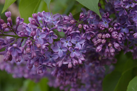 Explosion of Lilacs