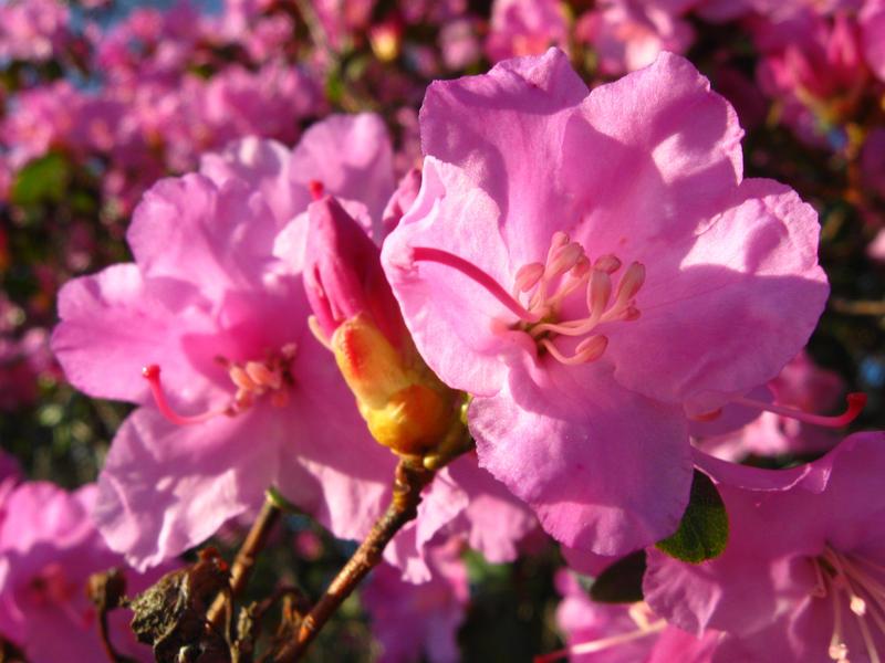 Beautiful pink spring flowers again by Kuu-Metsanhaltia