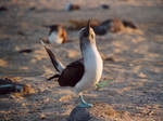 Dancing bluefooted booby