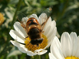 Hoverfly on a marguerite by Alistanniel