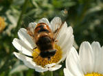 Hoverfly on a marguerite