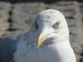 European herring gull by Alistanniel
