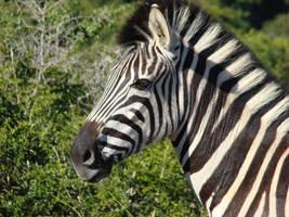 Burchell's Zebra by Alistanniel