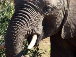 Elephant by Alistanniel