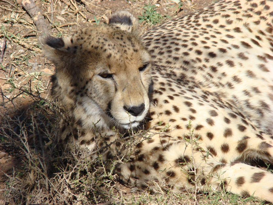 Cheetah by Alistanniel