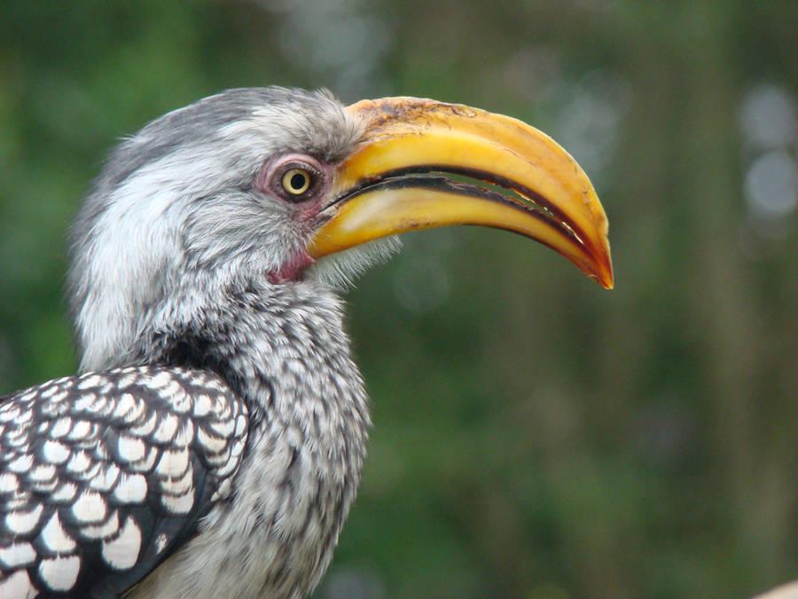 Yellow billed hornbill by Alistanniel