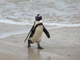 Jackass Penguin by Alistanniel