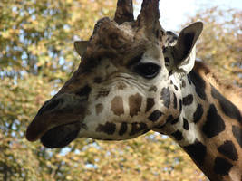 Giraffe closeup by Alistanniel