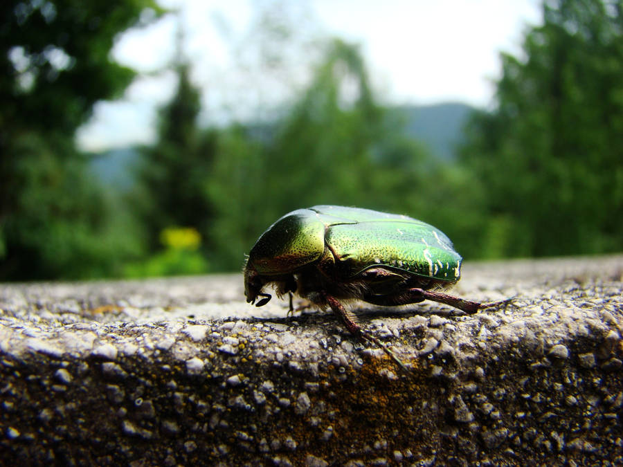 Green rose chafer by Alistanniel