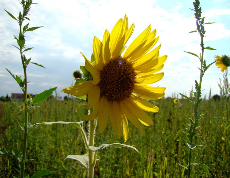 Sunflower by Alistanniel
