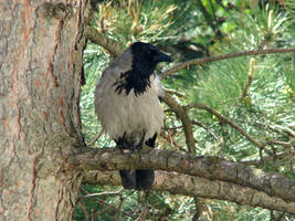 Carrion  Crow on conifer by Alistanniel