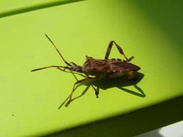 Western conifer seed bug by Alistanniel